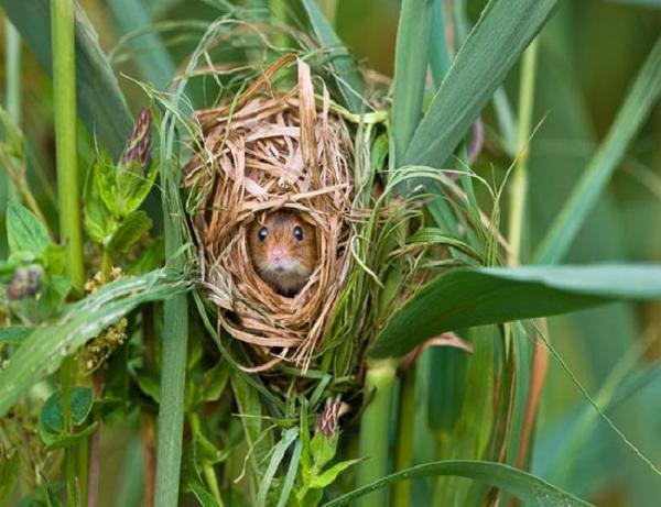 Гнездо полевой мыши