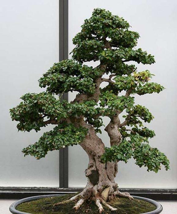 лучшие деревья для бонсай