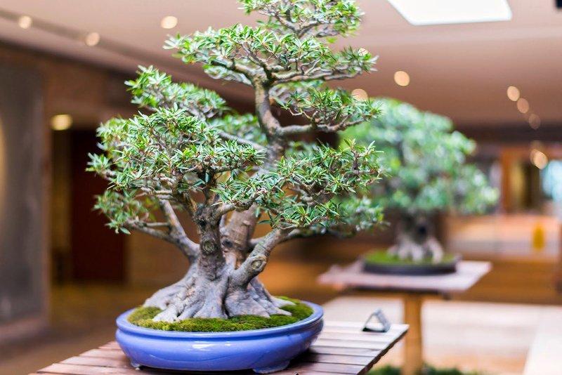 Деревья для бонсай: лучшие варианты с фото