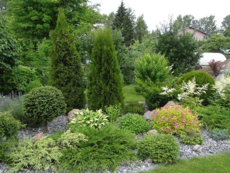Быстрорастущие хвойные деревья: фото и описание
