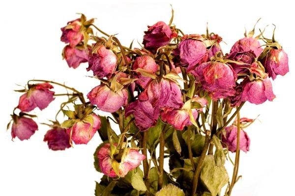 Сухие увядшие розы