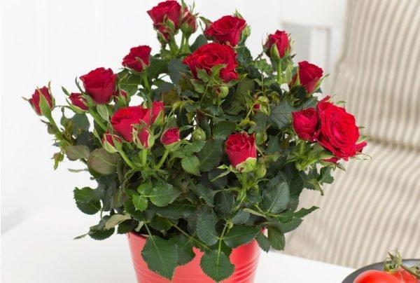 Домашние розы в горшке